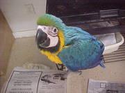 Iдома,  поднятые и зарегистрирован синих и золотых попугаи ара для прод