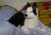 Якутская лайка щенки