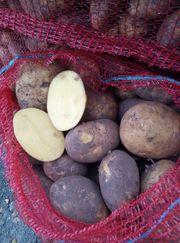 Картофель сорт Гала калибр 5  крупный и мелкий опт от производителя НС