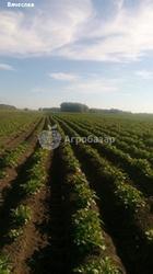 Картофель калибр 4-5 см крупным и мелким оптом от производителя НСО с